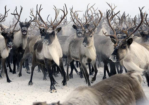 Ферма по разведению северных оленей в Мурманской области