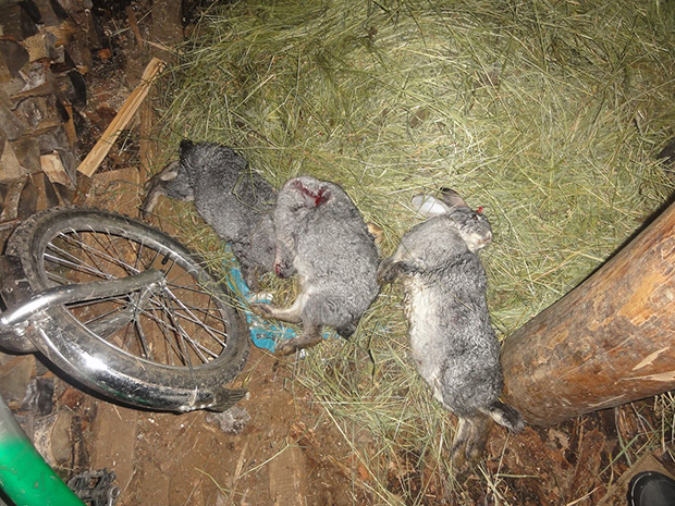 Чупакабра - погибшие кролики снятые  жителем Кужбы Олегом Гуляевым