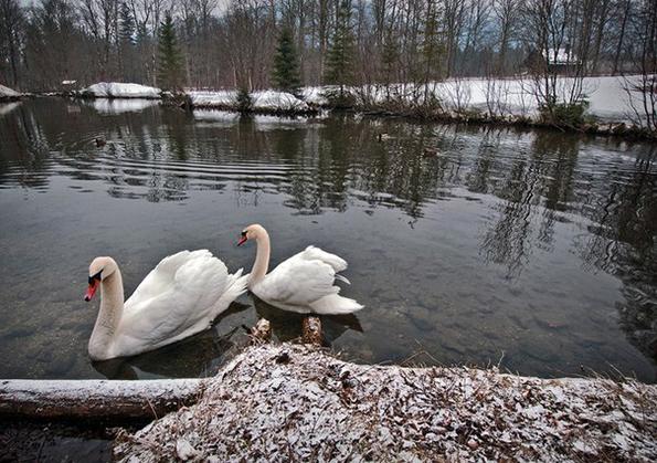 нювчимские лебеди