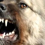 Жителей Пажги атакуют агрессивные собачьи банды