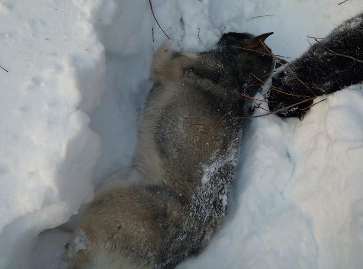 волкособ убитый