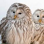 Усть-куломские пожарные спасли редкую птицу