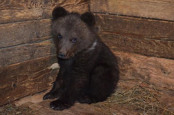 медвежонок  у тебеньковых жил при открытых дверях и не хотел уходить ы лес