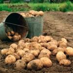 Агрономы рекомендуют  срочно убирать урожай