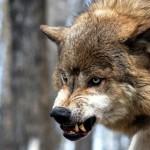 Волки чуют добычу (Блиц от 16 декабря)