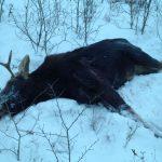 Стельную самку убили в лесу