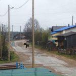Медведи уже разгуливают по улицам
