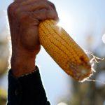 В Коми кукуруза так и не выросла