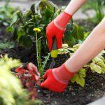 Урожай порадует только «шустрых» дачников
