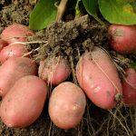 Как правильно убирать картошку