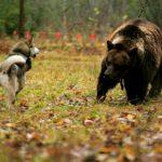Медведи повадились в Лойму