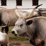В Прилузье появились венгерские коровы