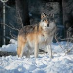 Волчий закон защищает хищников, а не человека