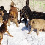 На центральной улице ижемского поселка свора собак едва не загрызла 82-летнюю бабушку